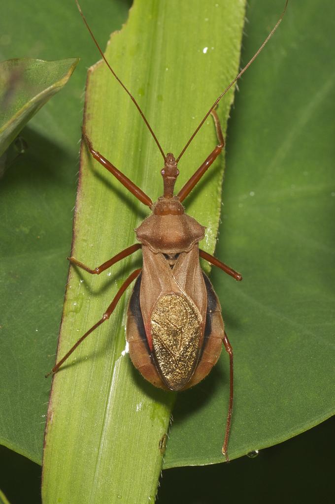 assassin bug fotografia