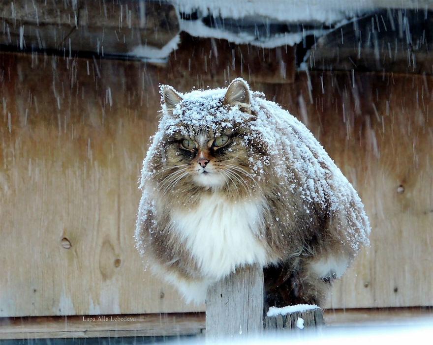 tesné Havajská mačička