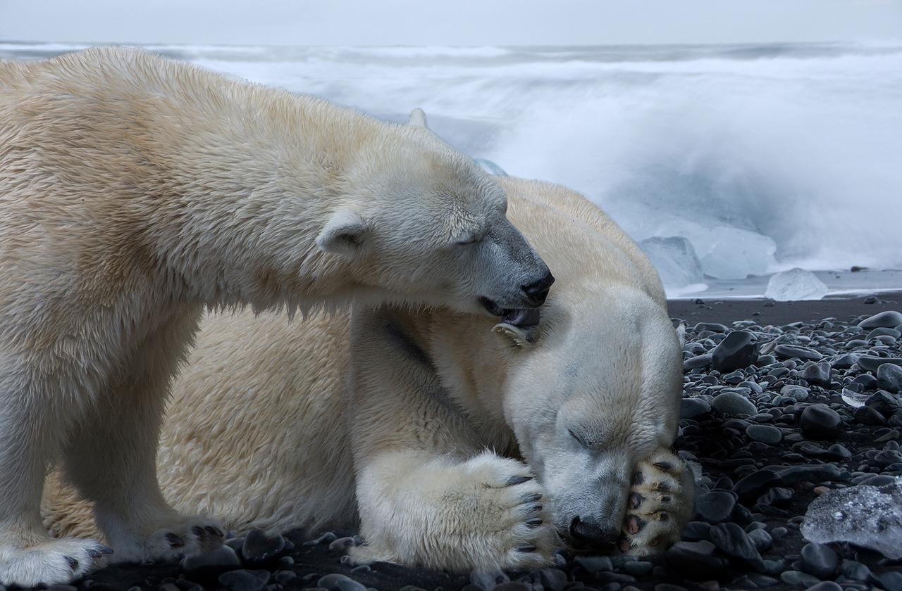 ice bear fotografia