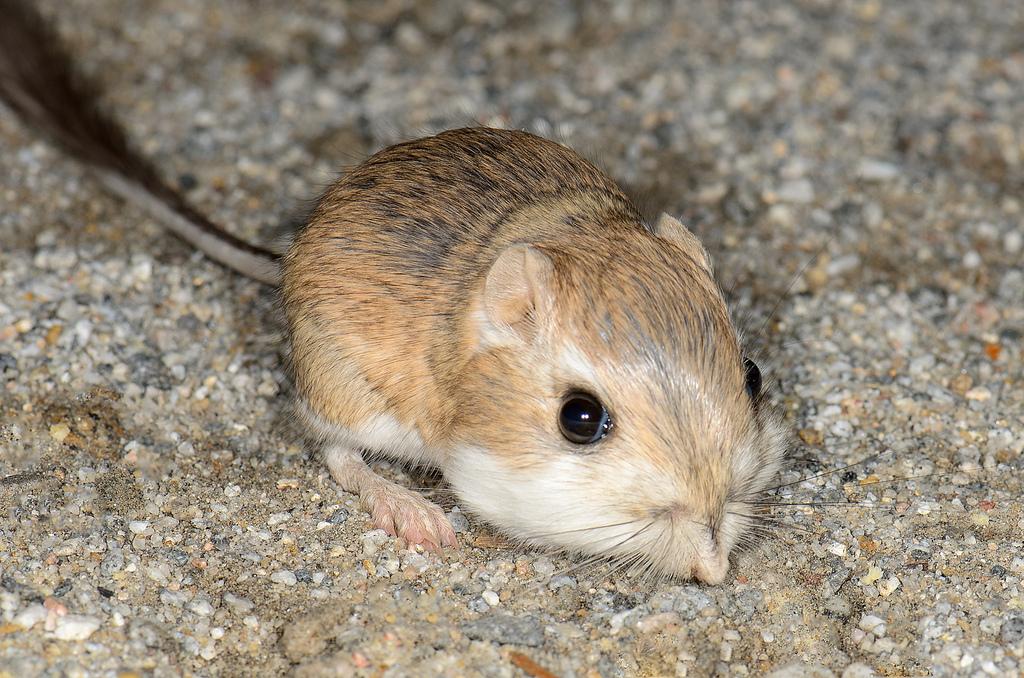kangaroo rat fotografia