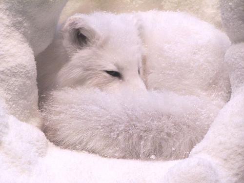 Artic fox fotografia