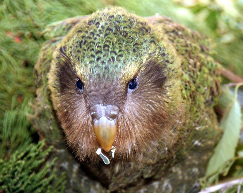 kakapo fotografia