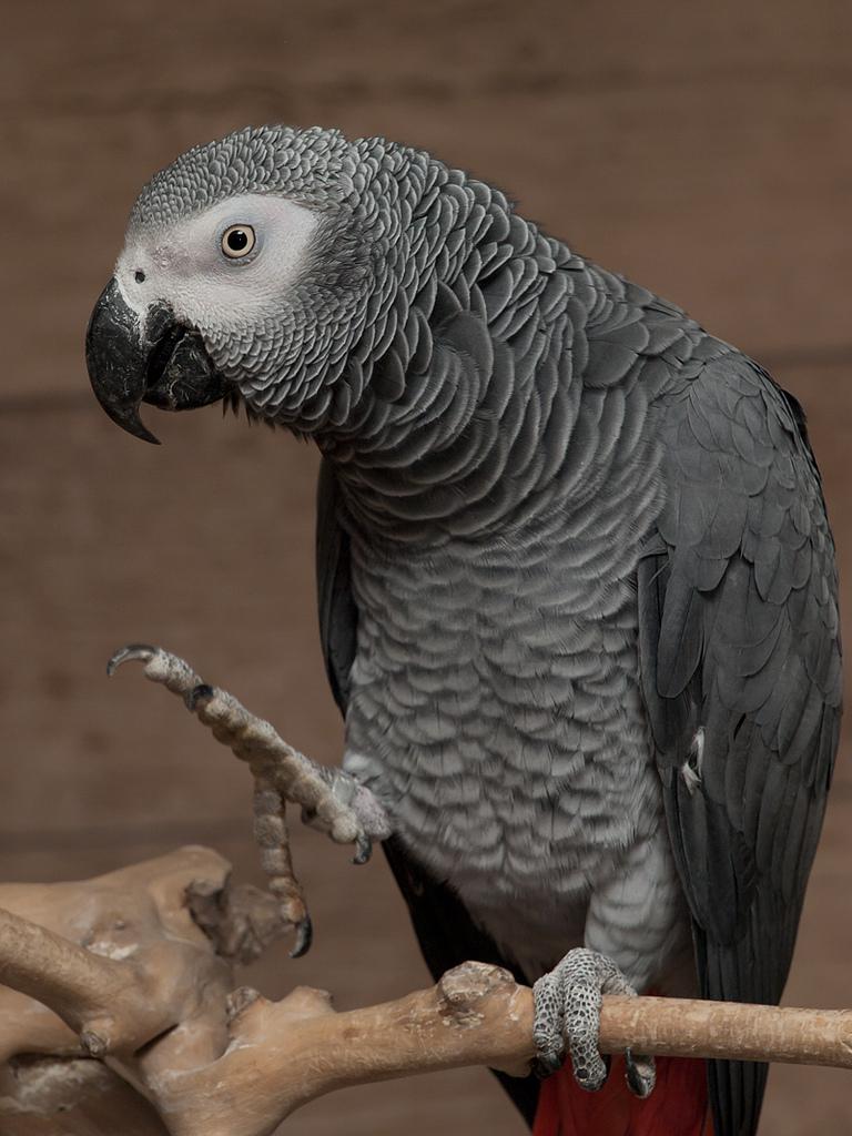 african parrots fotografia