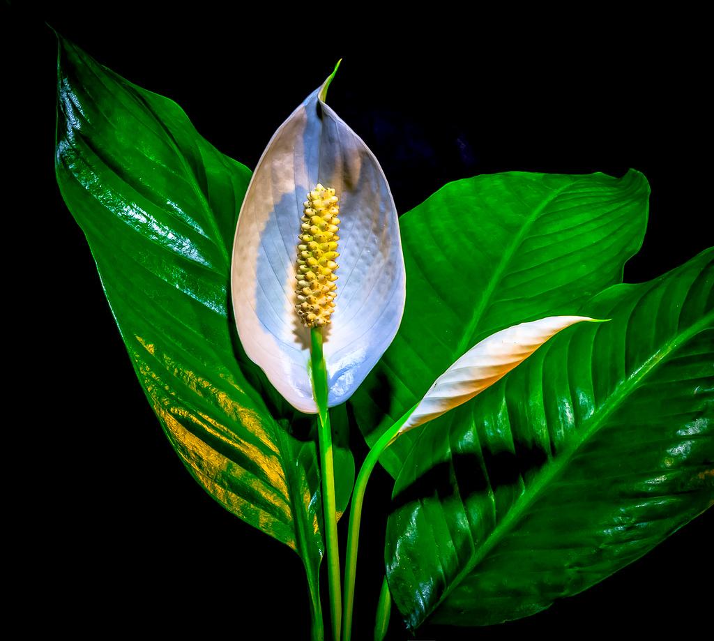 peace lily fotografia