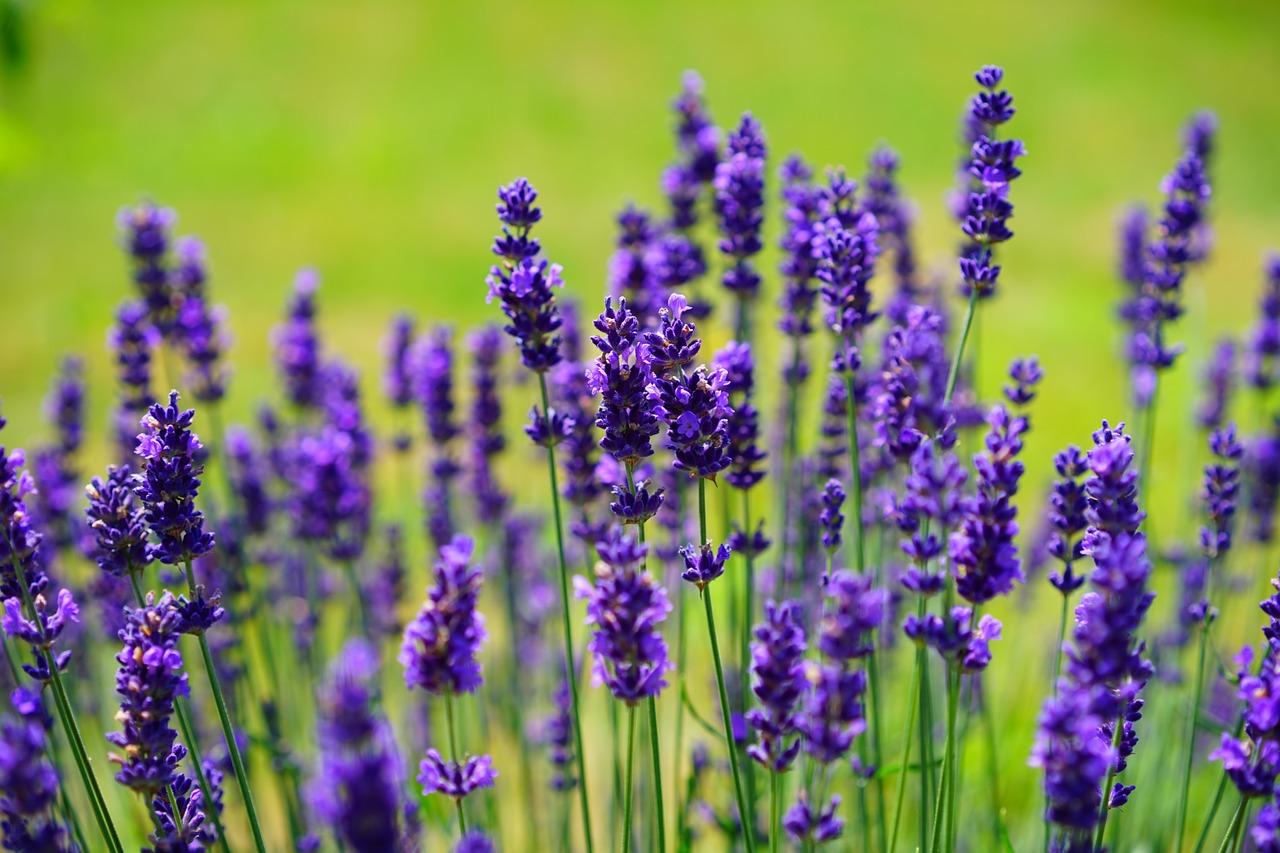 lavender fotografia