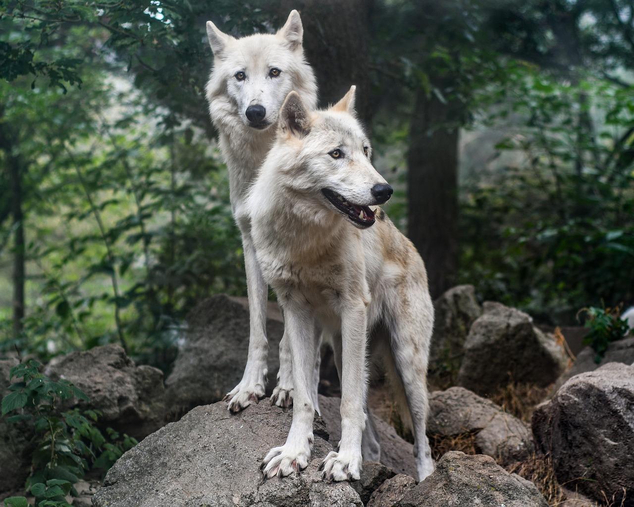 wolf fotografia