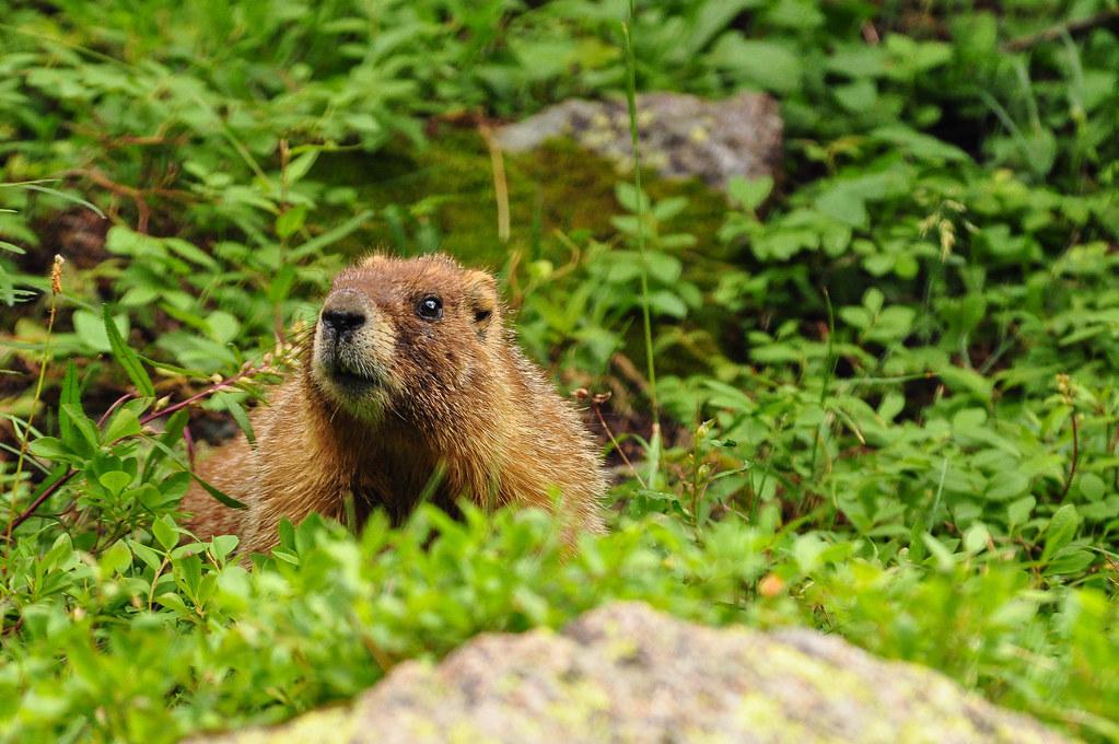 marmot fotografia