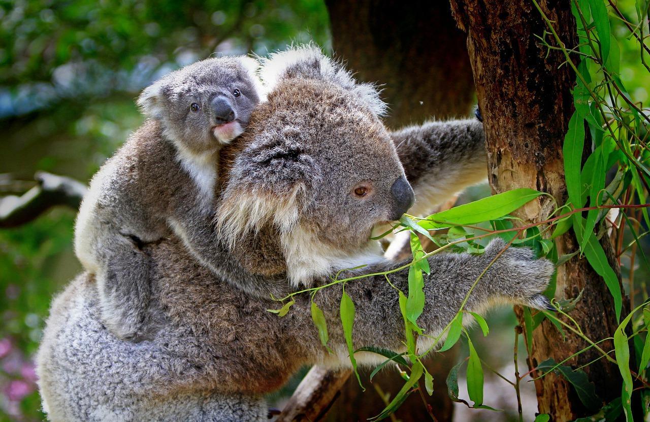 koalas fotografia