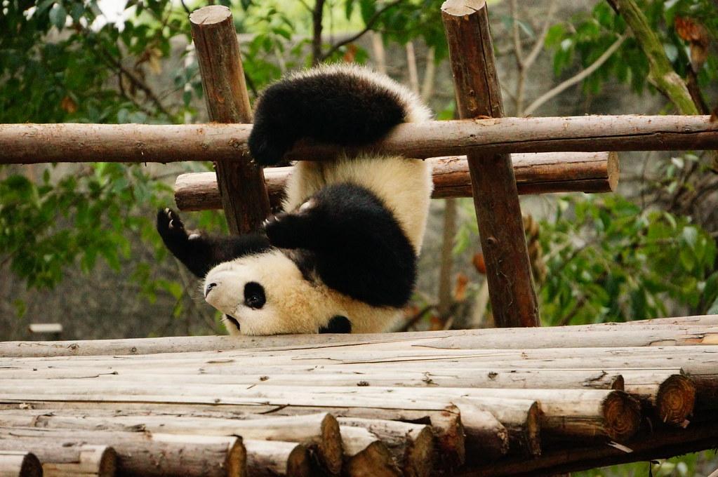 giant panda fotografia
