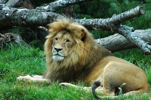 lion fotografia