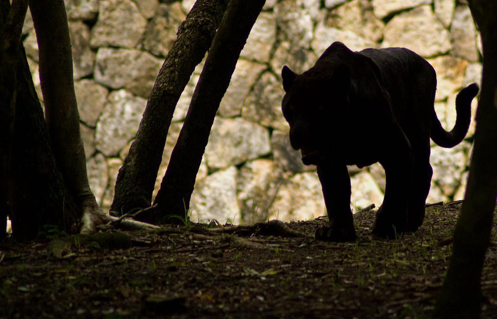panther fotografia