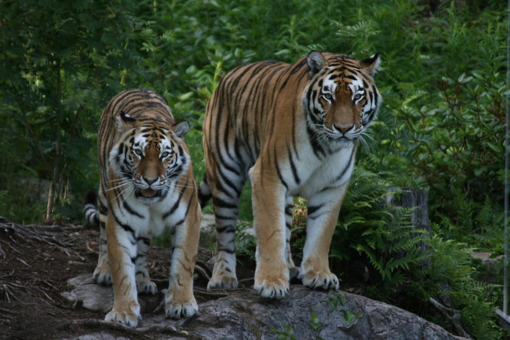 tiger fotografia