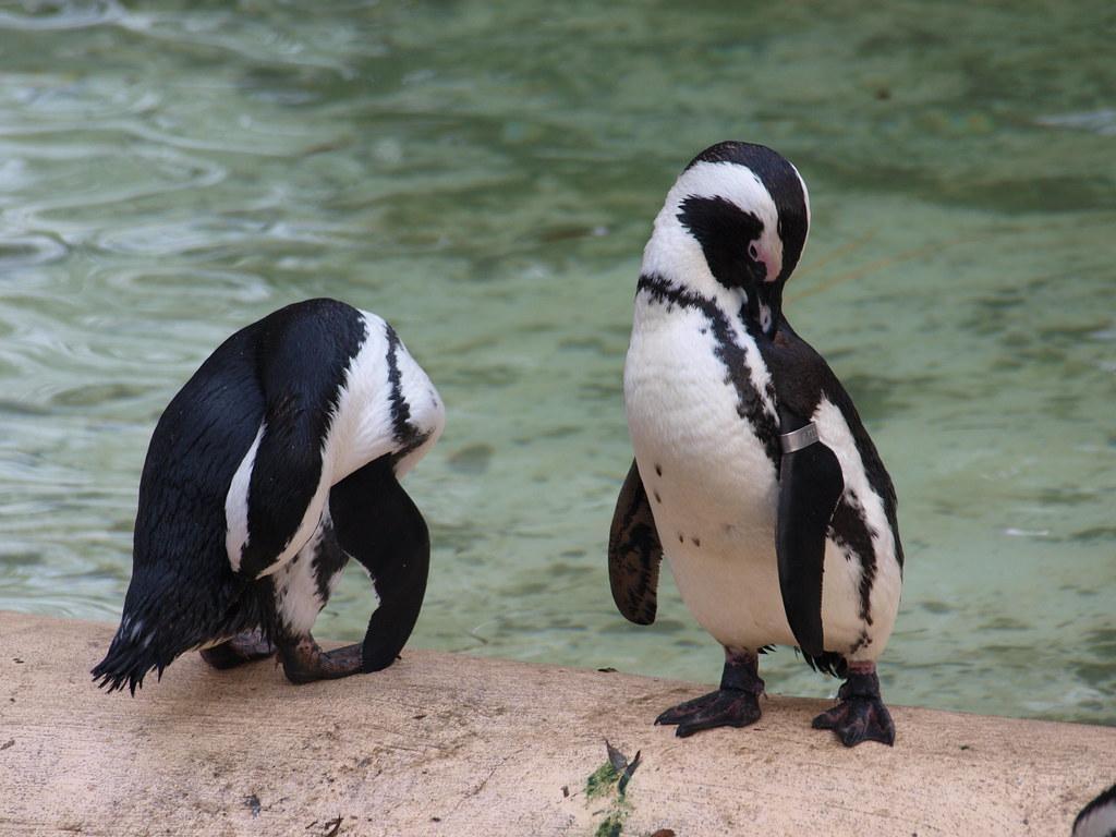 penguins fotografia