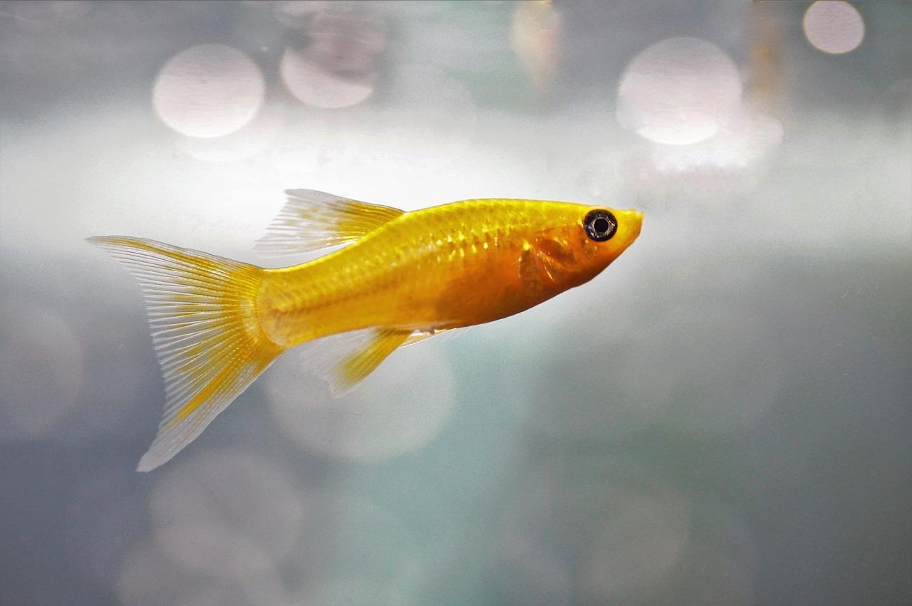 gold fish fotografia